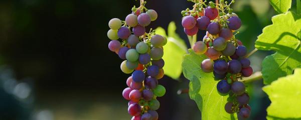 vin_rouge_raisin