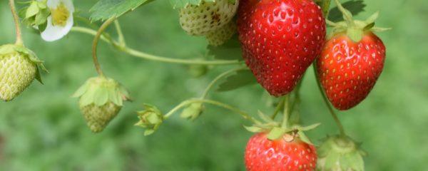 Des fraises prêtes pour la récolte.