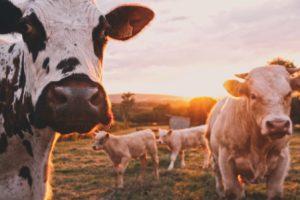 Des vaches dans un elévage en France.